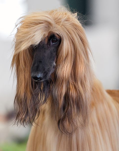 https://commons.wikimedia.org/wiki/File:111_AKC_Afghan_Hound_Dog_Show_2011.jpg