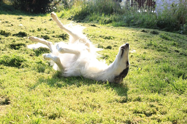 https://pixabay.com/en/dog-greyhound-borzoi-sun-633816/