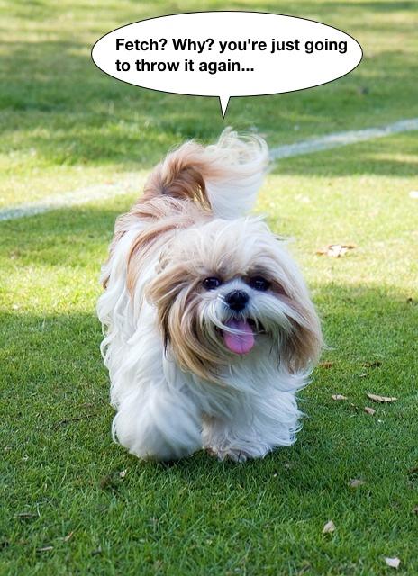 https://pixabay.com/en/dog-shih-tzu-animal-beautiful-cute-220393/