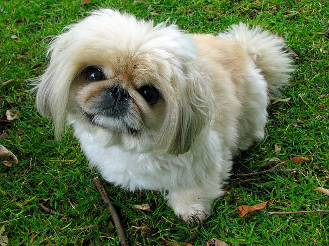 https://pixabay.com/en/pekingese-dog-pet-canine-animal-76185/