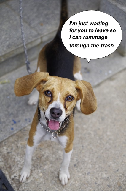 https://pixabay.com/en/beagle-harrier-puppy-dog-animal-766532/