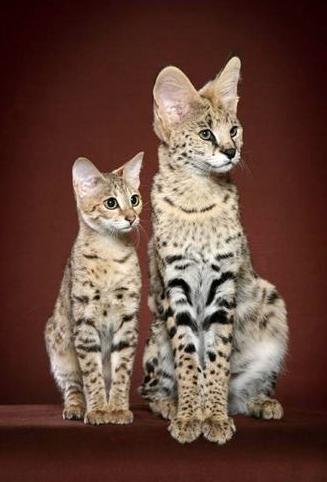 savannahcatshoppe.com