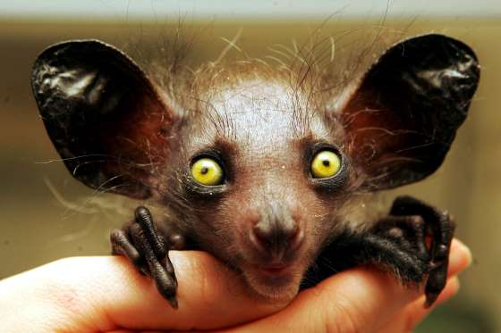 Aye-Aye. Image Courtesy of msn.com.
