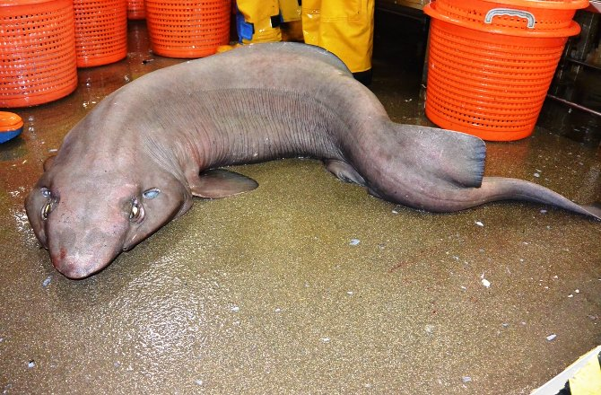 False Catshark. Image Courtesy of news.discovery.com.