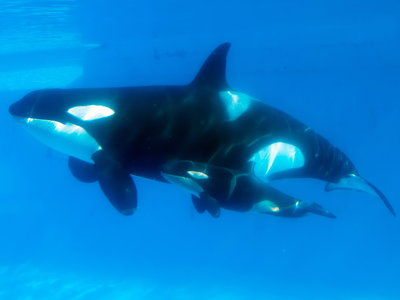 Kasatka and her calf in 2013. Image Courtesy of npr.org.
