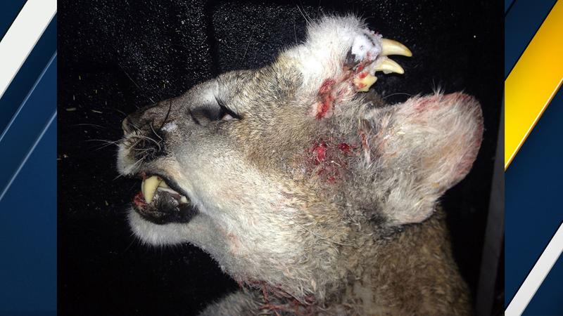 Mountain lion with teeth on its head. Image Courtesy of Idaho Department of Fish and Game.