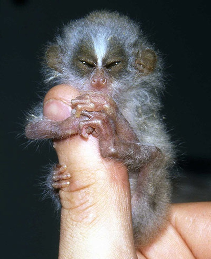Slender Loris. Image Courtesy of theguardian.com.